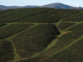tree_farm_blue_ridge_kitties
